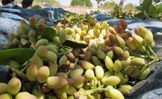 Şanlıurfa'da Fıstık Bahçelerinin Sayısı Artıyor