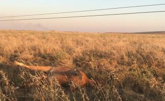 Elektrik akımına kapılan yarış atları can verdi