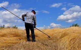 Buğdayın atasına geleneksel hasat!