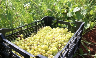 İhtiyaç sahiplerine organik meyve yardımı