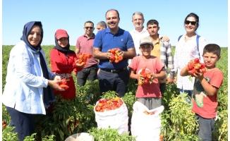 Başkan Çiftçi isot hasadına katıldı!