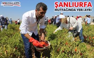 Belediye başkanları Urfa'da tarlada biber topladı
