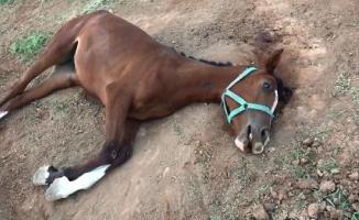 Şanlıurfa'da Bir Ayda 15 Yarış Atı Öldü