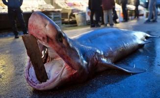 4 metre uzunluğunda köpek balığı yakalandı