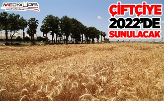 Yerli buğdayda bereketli hasat