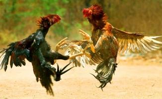 Hayvanseverler derneğinde horoz dövüşü