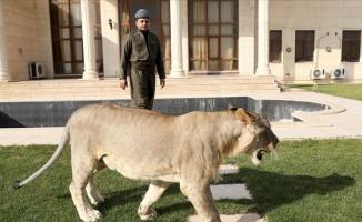 Evinde aslan besleyen Iraklı!
