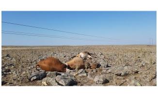 Siverek'te elektrik akımına kapılan inekler telef oldu