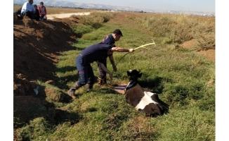 Haliliye'de bataklığa düşen inek kurtarıldı