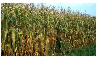 Uzun boylu bitkilerin ekimi yasaklandı