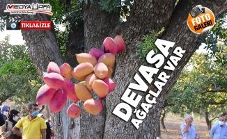 Şanlıurfa'da tarihi fıstık ağaçları verimiyle yüz güldürüyor