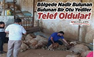 Haliliye'de zehirli ot yiyen 150 koyun telef oldu