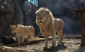 Türkiye'nin yavru aslan ve kaplanları Afrika yolcusu