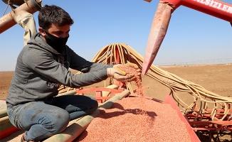 Yerli tohumlar TİGEM'de çoğaltılıyor