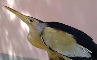 Şanlıurfa'da yaralı balaban kuşu tedavi altına alındı
