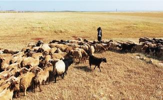 Şanlıurfa'da kuraklık çiftçileri endişelendiriyor