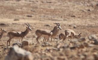 Şanlıurfa'da 30 Ceylan Daha Doğaya Salındı