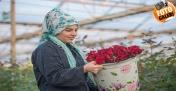 Şanlıurfa'da Gül Serasında Sevgililer Günü Yoğunluğu
