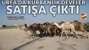 Şanlıurfa'da kurbanlık develer satışa çıktı