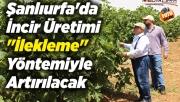 Şanlıurfa'da incir üretimi artacak