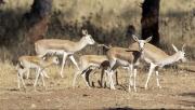 Ceylanpınar'da koruma altındaki ceylanların sayısı artıyor