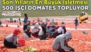 Siverek'in domatesleri kurutulup 3 kıtada sofraları süslüyor